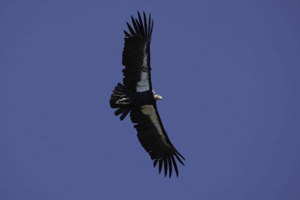 A condor soars overhead