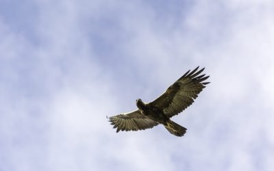A Golden Eagle soars over the foothills of San Jose
