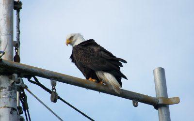 bald eagle Sand Point AK 1