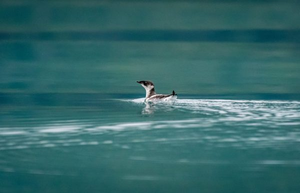 Marbled Murrelet (Brachyramphus marmoratus) swimming off the coast of southeast Alaska, USA.