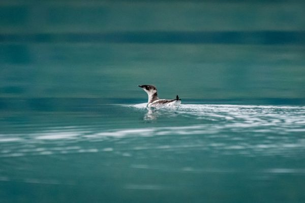 Marbled Murrelet (Brachyramphus marmoratus) swimming off the coast of southeast Alaska, USA.
