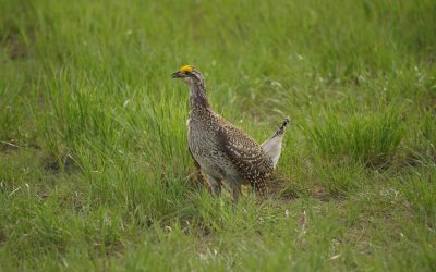 sharpt tailed grouse male